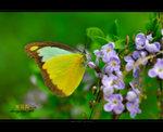 靈奇尖粉蝶