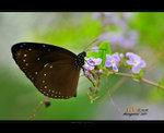 圓翅紫斑蝶