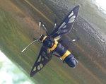 015:黃斑蛾(鳳凰山蓬萊良苑