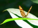030:被日光射透的蝴蝶