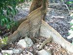 051:紅樹巨人銀葉樹的大板根