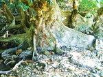 052:紅樹巨人銀葉樹的大板根