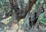 056:紅樹巨人∼銀葉樹的大板根(荔枝窩自然步道)