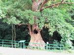 069:通心秋楓樹(荔枝窩風水林)
