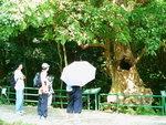 070:通心秋楓樹(荔枝窩風水林)