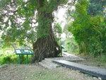 072:霸度的榕樹(荔枝窩風水林)