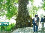 073:霸度的榕樹(荔枝窩風水林)
