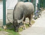008:罕見的水牛(芝麻灣道走鹹田新村)