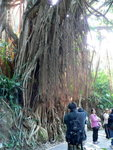 039:印度橡樹(盧吉道)