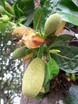 P1890769大樹菠蘿(大坑口)
