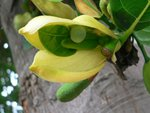 P1890770大樹菠蘿(大坑口)