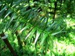 水杉(荃錦坳)  P1600018