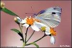 東方菜粉蝶