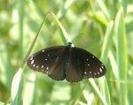 幻紫斑蝶 Common Indian Crow DSC_0116s
