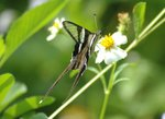 燕鳳蝶 White Dragontail DSC_0204s