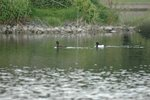 turfed duck 20070523 DSC_6885