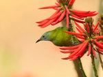橙腹葉鵯(雌) Orange-bellied Leafbird DSC_8358s