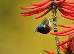 叉尾太陽鳥(雄) Fork-tailed sunbird DSC_8438s