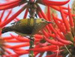 叉尾太陽鳥(雌) Fork-tailed sunbird DSC_8468s