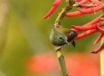 叉尾太陽鳥(雌) Fork-tailed sunbird DSC_8501s