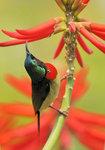 叉尾太陽鳥(雄) Fork-tailed sunbird DSC_8521s