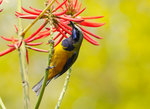 橙腹葉鵯(雄) Orange-bellied Leafbird DSC_8558s