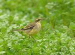 黃鶺鴒 - Yellow Wagtail DSC_9371s