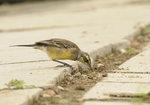 黃鶺鴒 - Yellow Wagtail DSC_9391s