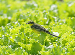 Yellow Wagtail 黃鶺鴒