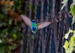 Sparkling Violetear, male @San Jorge Botanical Reserve