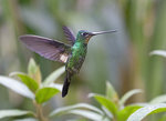 Buff-winged Starfrontlet, female @Yanacocha Reserve
