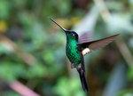 Buff-winged Starfrontlet, male @Yanacocha Reserve