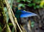 Great Sapphirewing, male @Yanacocha Reserve
