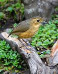 Tawny Antpitta @Yanacocha Reserve