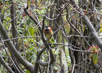 Crimson-mantled Woodpecker  @Antisana