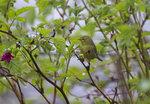 Orange-crowned Warbler IMG_9162s