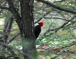 阿根廷啄木鳥 Magellanic woodpecker