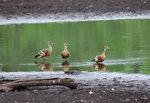 Plumed Whistling-Duck (endemic) @Hastie's Swamp