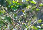 黃頭灰森鶯 (Yellow-headed Warbler)