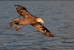 Giant Northern Petrel (Nelly)