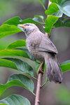 Yellow-billed Babbler 黃嘴鶇鶥