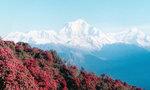 Nepal mountains 尼泊爾滿山杜鵑紅