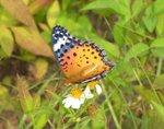 裴豹蛺蝶 Indian Fritillary DSC_9294ss