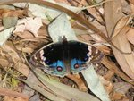 翠藍眼蛺蝶 Blue Pansy s