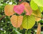 leaf color