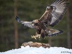Golden Eagle Landing 08