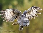 Great Grey Owl in Flight 01