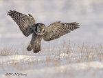 Hawk Owl A05