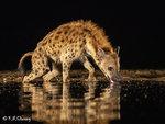 Hyaena Drinking