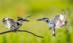 Kingfisher Fighting 11